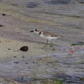 Greater sand plover. Non-breeding adult. Mauritius, February 2016. Image © Colin Miskelly by Colin Miskelly