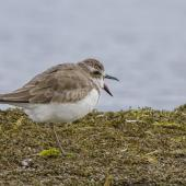 Greater sand plover. Adult side profile showing bill detail. Awarua Bay, September 2015. Image © Glenda Rees by Glenda Rees https://www.flickr.com/photos/nzsamphotofanatic/ https://www.facebook.com/NZBANP/