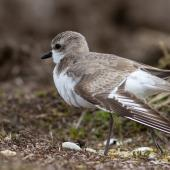 Greater sand plover. Nonbreeding adult stretching. Awarua Bay, September 2016. Image © Paul Sorrell by Paul Sorrell