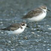 Greater sand plover. Non-breeding plumage (New Zealand dotterel in background). Miranda, April 2007. Image © Phil Battley by Phil Battley