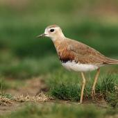 Oriental dotterel. Adult male in breeding plumage. Shanghai, China, March 2010. Image © Jacques Wei by Jacques Wei