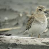 Oriental dotterel. Juvenile. Port Waikato, October 2013. Image © Tim Barnard by Tim