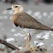 Oriental dotterel. Breeding plumage. Ohiwa Harbour, Bay of Plenty, March 2016. Image © Tim Barnard by Tim Barnard