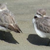 Wrybill. Roosting adults. Manawatu River estuary, Foxton, January 2007. Image © Ian Armitage by Ian Armitage