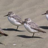 Wrybill. Non-breeding adults roosting on sandy beach. Manawatu River estuary, Foxton, January 2007. Image © Ian Armitage by Ian Armitage