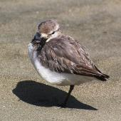 Wrybill. Adult bird at roost. Manawatu River estuary, Foxton, January 2007. Image © Ian Armitage by Ian Armitage