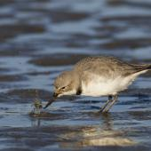 Wrybill. Adult, feeding on a glass eel. Ashley estuary,  Canterbury, September 2015. Image © Kathy Reid by Kathy Reid https://www.flickr.com/photos/kathy55/