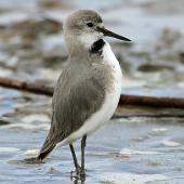 Wrybill. Adult bobbing. Wanganui, October 2012. Image © Ormond Torr by Ormond Torr