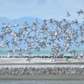 Wrybill. Flock in flight over mudflats. Miranda, March 2010. Image © Cheryl Marriner by Cheryl Marriner http://www.glen.co.nz/cheryl