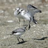 Wrybill. Two non-breeding adults fighting. Miranda, March 2009. Image © Nigel Voaden by Nigel Voaden http://www.flickr.com/photos/nvoaden/
