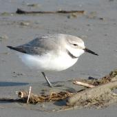 Wrybill. Right side view of resting adult. Manawatu River estuary, September 2010. Image © Alan Tennyson by Alan Tennyson Alan Tennyson