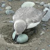 Wrybill. Adult at nest with two eggs. Waimakariri River, September 2009. Image © Dianne Parker by Dianne Parker