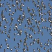 Wrybill. Flock in synchronised flight display. Miranda, March 2009. Image © Craig Steed by Craig Steed