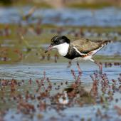 Red-kneed dotterel. Adult. Bowra - near Cunnamulla, Queensland,  Australia, August 2019. Image © Mark Lethlean by Mark Lethlean