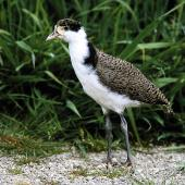 Spur-winged plover. Juvenile in captivity. Bird Rescue Wanganui, October 1995. Image © Ormond Torr by Ormond Torr