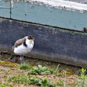 Spur-winged plover. Seven-week-old chick. Tauranga, October 2011. Image © Raewyn Adams by Raewyn Adams