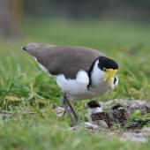 Spur-winged plover. Adult at nest with egg and chicks. Palmerston North golf course, August 2007. Image © Peter Gill by Peter Gill