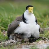 Spur-winged plover. Adult brooding chicks at nest with egg. Palmerston North golf course, August 2007. Image © Peter Gill by Peter Gill