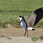 Spur-winged plover. Adult landing. Tauranga, September 2011. Image © Raewyn Adams by Raewyn Adams