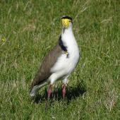 Spur-winged plover. Adult. Springlands, Blenheim, April 2017. Image © Bill Cash by Bill Cash