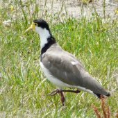 Spur-winged plover. Adult walking. Renwick, January 2013. Image © Alan Tennyson by Alan Tennyson