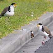 Spur-winged plover. Parents trying to rescue chick who fell of the curb-stone, near their nest. Flat Bush,  Auckland, August 2014. Image © Marie-Louise Myburgh by Marie-Louise Myburgh