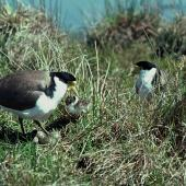 Spur-winged plover. Pair at nest containing eggs and chick. Cass River, McKenzie basin, October 1977. Image © Department of Conservation (image ref: 10031016) by Dick Veitch, Department of Conservation Courtesy of Department of Conservation