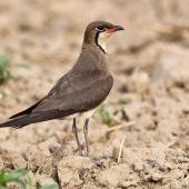 Oriental pratincole. Adult in breeding plumage. Najafgarh, Delhi-Haryana Border, Haryana, India, June 2014. Image © Anand Arya by Anand Arya