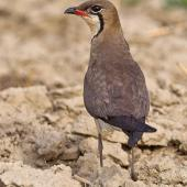 Oriental pratincole. Adult in breeding plumage, rear view. Najafgarh, Delhi-Haryana Border, Haryana, India, June 2014. Image © Anand Arya by Anand Arya