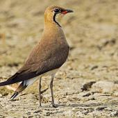 Oriental pratincole. Adult in breeding plumage. Dadri Wetlands, 40 km south-east of Delhi, India, May 2011. Image © Anand Arya by Anand Arya