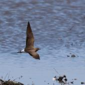 Oriental pratincole. Adult in flight. Tolderol Game Reserve, South Australia, February 2018. Image © John Fennell by John Fennell