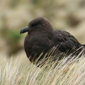Subantarctic skua. Juvenile. Antipodes Island, January 2008. Image © David Boyle by David Boyle