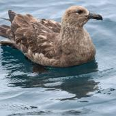 Subantarctic skua. Adult on water. Off Bench Island, Stewart Island, December 2017. Image © Les Feasey by Les Feasey