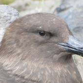 Subantarctic skua. Adult showing dorsal bill plates covering nostrils (unique to skuas). Penguin Bay, Campbell Island, November 2010. Image © Kyle Morrison by Kyle Morrison