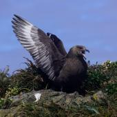 Subantarctic skua. Adult displaying. Forty-Fours,  Chatham Islands, December 2009. Image © Mark Fraser by Mark Fraser