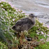 Subantarctic skua. Large chick. The Pyramid,  Chatham Islands, November 2010. Image © Mark Fraser by Mark Fraser