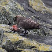 Subantarctic skua. Adult feeding on Chatham Island mollymawk chick. The Pyramid Chatham Islands, November 2010. Image © Mark Fraser by Mark Fraser