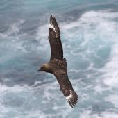 Subantarctic skua. Adult in flight showing white wing flashes. The Pyramid Chatham Islands, November 2010. Image © Mark Fraser by Mark Fraser