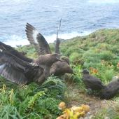 Subantarctic skua. Pair displaying at nest with fully-grown chicks. Penguin Bay,  Campbell Island, January 2013. Image © Kyle Morrison by Kyle Morrison