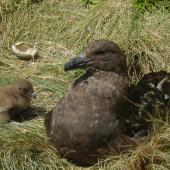 Subantarctic skua. Adult and young chick at nest. Campbell Island, December 2011. Image © Kyle Morrison by Kyle Morrison