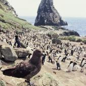 Subantarctic skua. Adult at penguin colony. Orde Lees, Antipodes Island, November 1995. Image © Alan Tennyson by Alan Tennyson