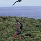 Subantarctic skua. Adult attacking a person near nest. Snares Islands. Image © Alan Tennyson by Alan Tennyson