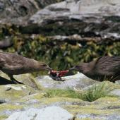 Subantarctic skua. Adult (left) and fledgling pulling a diving petrel apart. Snares Islands. Image © Alan Tennyson by Alan Tennyson