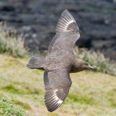 Subantarctic skua. Dorsal view in flight. Enderby Island, January 2010. Image © John Woods by John Woods