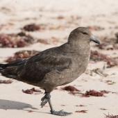 Subantarctic skua. Adult walking on beach. Enderby Island, Auckland Islands, January 2010. Image © John Woods by John Woods