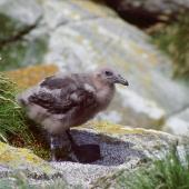Subantarctic skua. Chick. Snares Islands, January 1987. Image © Colin Miskelly by Colin Miskelly