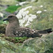 Subantarctic skua. Adult on nest. Snares Islands. Image © Department of Conservation (image ref: 10048694) by Department of Conservation Courtesy of Department of Conservation
