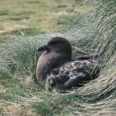 Subantarctic skua. Adult on nest with chick. Enderby Island,  Auckland Islands. Image © Department of Conservation (image ref: 10064733) by Nadine Gibbs, Department of Conservation Courtesy of Department of Conservation