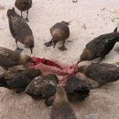 Subantarctic skua. Flock feeding on NZ sea lion pup carcass. Enderby Island,  Auckland Islands, December 2005. Image © Andrew Maloney by Andrew Maloney