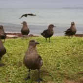 Subantarctic skua. Non-breeding flock. Enderby Island Auckland Islands, December 2005. Image © Andrew Maloney by Andrew Maloney